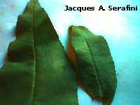 folhas de pessego