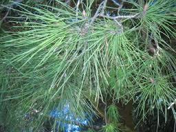 folhas de pinheiro